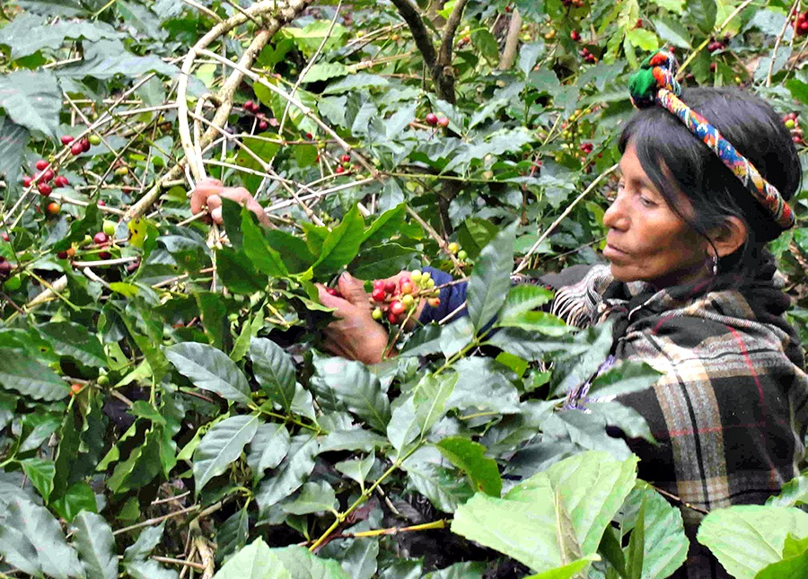 No daily cup of the best organic coffee could happen without Amavida Coffee Roaster's dedicated farmer partners hand picking beans for each coffee harvest.