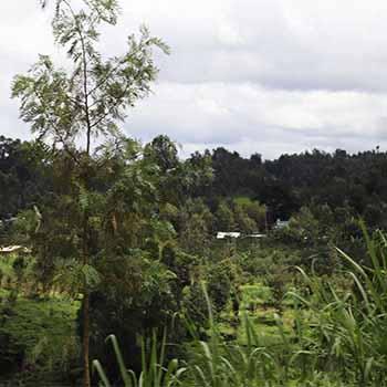 Mbeguka Estate Farm in the Best Coffee Growing Region in Kenya