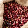 Hand picked coffee bean harvest from the fair trade coffee farmers with the Ethiopia Idido Coop.