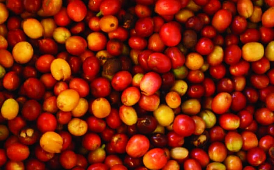 A pile of hand picked, organic coffee cherries.