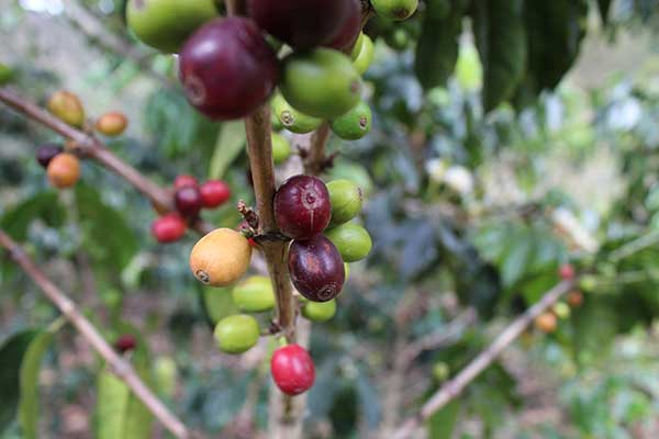 Coffee cherries at Fondo Paez in Colombia