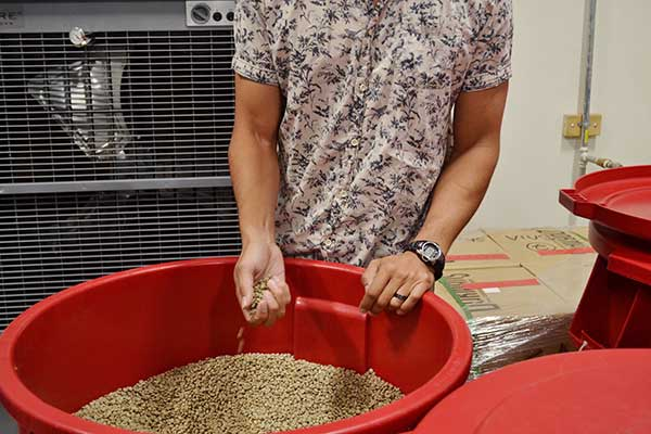 See green / unroasted coffee beans during the coffee roasting tour at Amavida Coffee.